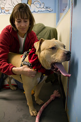 Biscuit (Save-A-Pet Adoption Center) Tags: dog brown holiday male pitbull biscuit massage adopted rainbowbridge 2012 saveapet holidayopenhouse