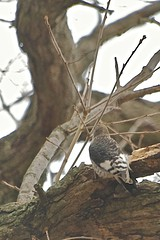 First Winter Red-headed Woodpecker (Steve Kacir) Tags: bird animal dinosaur pennsylvania reptile aves pa woodpeckers tetrapod animalia vertebrate reptilia redheadedwoodpecker melanerpeserythrocephalus montgomerycounty theropoda dinosauria pici saurian chordate chordata metazoa bilateria deuterostomia craniata vertebrata gnathostomata teleostomi osteichthyes sarcopterygii tetrapoda amniota romeriida diapsida archosauromorpha archosauria saurischia coelurosauria maniraptora euornithes neornithes sauria piciformes eukaryote picidae norristownfarmpark melanerpes eukaryota neoaves deuterostome neognathae archosaur picinae teleost amniote craniate diapsid dendropicini reptiliomorpha unikont opisthokont
