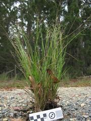 Panicum simile plant4 (Macleay Grass Man) Tags: two grass native panic coloured poaceae simile panicum twocoloured taxonomy:binomial=panicumsimile