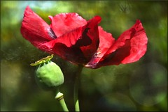 Red poppy (evisdotter) Tags: flowers macro bokeh poppy myart blommor 2in1 vallmo itsenisyyspiv creativephotocafe