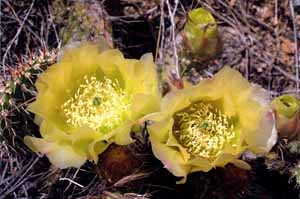 Photo - Blooming Prickly Pear Cactus