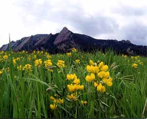 Photo - Flower and Flatirons