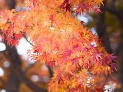 Luminescence [explpred] (kasa51) Tags: leaves japan digital maple olympus 紅葉 f18 秋 omd 75mm totsuka em5 yokokama mzuiko autumncolored もみぢ