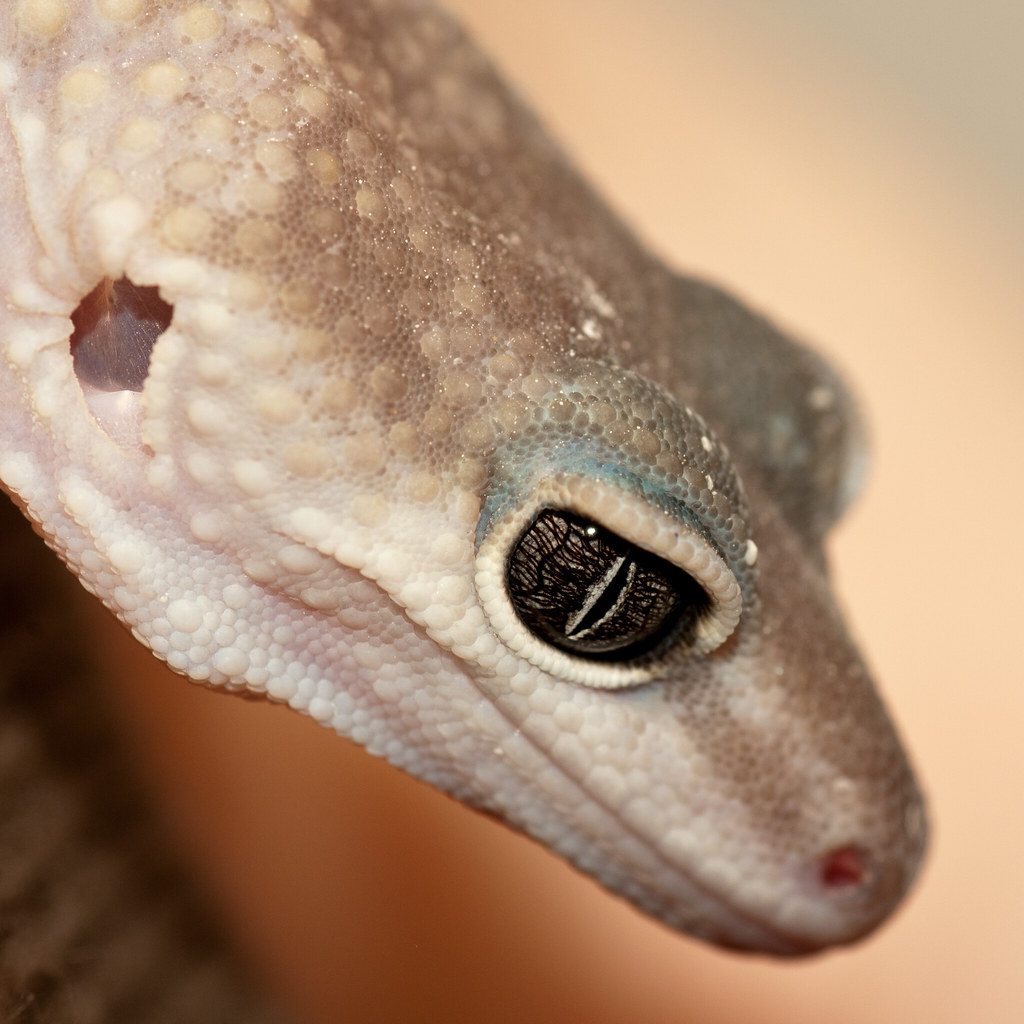 the world u0027s best photos of gecko and patternless flickr hive mind