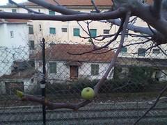 sì, sono proprio fico :-) (riky.prof) Tags: autumn winter tree fall fig albero inverno autunno figs imperia fico dianomarina fichi ikyprof