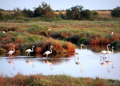 elegante sfilata (erman_53fotoclik) Tags: fauna flora rosa uccelli elegante sfilata fenicotteri mygearandme mygearandmepremium mygearandmebronze