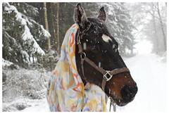 (feldweg) Tags: horse snow caballo cheval cavallo pferd hest kon