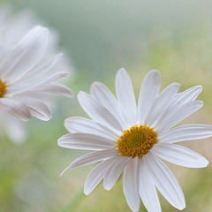 memories of summer (Brigitte Lorenz) Tags: flowers light summer soft margerite