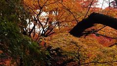 JAPAN 2012 diciembre  紅葉 #Autumn (soros004) Tags: japan tokyo seasons culture 日本 紅葉 japon cultura estaciones 文化 季節 natureandbuildings naturalezaobrashechasporelhombre