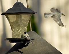 birds birdfeeder chickadee blackcappedchickadee perchingbirds