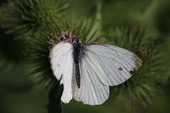 Ust fanother jutterbly (unnamedcrewmember) Tags: hannover germany leine ufer schmetterling kleinerkohlweisling cabbagebutterfly pierisrapae