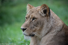 FAN_1960.jpg (Flemming Andersen) Tags: green grass animal denmark outdoor lion give dk lve dyrepark givskud regionsyddanmark