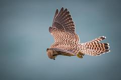 Kestrel Hunting (Mr F1) Tags: kestrel falcotinnunculus wild johnfanning bird bop birdsofprey closeup portland feathers detail outdoor