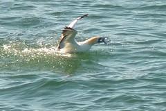 A meal (paulmilne804) Tags: australasian gannet