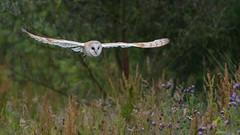 On Silent Wings..... (PRA Images) Tags: birds wildlife owl barnowl birdsofprey tytoalba pilsworth pilsworthfishery