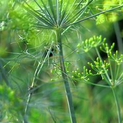 summer in the herb garden (vertblu) Tags: dill herb herbs herbgarden green greens teal emerald yellowishgreen bluegreen summer summertime blur blurred blurry dof 500x500 garden delicacy grn hellgrn gelbgrn blaugrn vert vertblu floral simplenature transcending