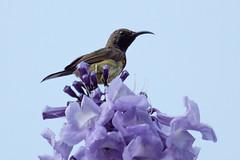 IMG_5412  Olive-backed Sunbird (ashahmtl) Tags: olivebackedsunbird bird sunbird kuraburi phangngaprovince nectariniajugularis thailand