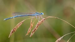 Blue tailed damsefly (Sebo23) Tags: damsefly liebelle macro makro makrofotografie bokeh dragonfly blue blau insekt insect canon6d canon10028