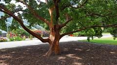 Paper Bark Maple. Acer Griseum (standhisround) Tags: trees tree acer maple paperbarkmaple china nature rbg royalbotanicalgardens kewgardens kew london uk england acergriseum 1928