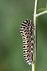 Schwalbenschwanz Raupe  Swallowtail Caterpillar Papilio machaon (Bluesfreak) Tags: insekten raupe schmetterlinge tagfalter schwalbenschwanz papiliomachaon swallowtail butterfly unterfranken spessart caterpillar