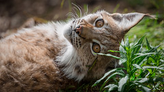 I have been spotted (nemi1968) Tags: canon canon5dmarkiii ef100400mmf4556lisiiusm eurasianlynx gaupe irma june langedrag lynx markiii norway cat catfamily closeup discovered eartufs eyes gaze look nose onguard portrait resting sister stare summer specanimal
