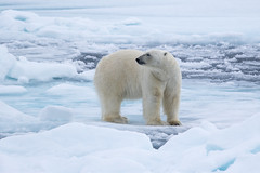 King of the ice S24A2288 (grebberg) Tags: polarbear ursusmaritimus bear ursus environment ice seaice iceedge packice arcticocean svalbard