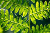 In the morning you'll begin to see the light (OR_U) Tags: 2016 oru uk langleywood langleywoodnationalnaturere green leaves fern macro closeup 50waysofleaves paulsimon texture langleywoodnationalnaturereserve