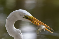 Great Egret (Explored) (NickJaramillo) Tags: 7020028isii puntacana dominicanrepublic canon wildlife dinner fish birds nature greategret egret