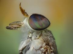Horsefly (Rui Par) Tags: horsefly mutuca par abaetetuba nature natureza inseto insect fuji hs25 raynox macro