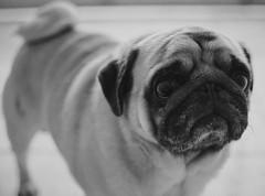 (Horionsys) Tags: cachorro pug bahia eunpolis