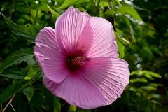 20160809_033_2 (まさちゃん) Tags: 芙蓉 雌蕊 雄蕊 めしべ おしべ 雌しべ 雄しべ ピンクの花