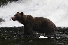 IMG_6572_1 (kalday) Tags: chichagofisland alaska pavlofriver brownbear grizzlybear kodiakbear