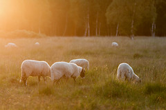 Sheep and Sunshine (aveyardphotography) Tags: strensall common nature reserve sheep grazing sunset sunshine flare bright warm light trees flies midges insects