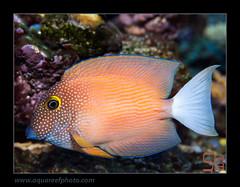 STEPcteno-flavicauda5153_160514 (kactusficus) Tags: aquarium reef trade marine ctenochaetus flavicauda acanthuridae tang surgeonfish chirurgien