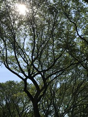 Tree in the Mall (AndyS03) Tags: iphone iphone7 iphone7plus newyorkcity nyc manhattan central park trees