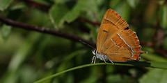 Brown Hairstreak Butterfly (Thecla betulae ). (Sandra Standbridge.) Tags: brownhairstreak butterfly insect macro oxford rare wildandfree outdoor bush tree perched theclabetulae woodland female elusive