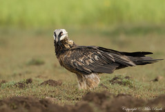 Bearded Vulture (Gypaetus barbatus) (Bird Guide UAE - 1M+ Views thanks !) Tags: birds ethiopia gypaetusbarbatus beardedvulture bird