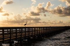 Big Bird (Daniel Ray) Tags: animal bird galveston seabrook bay gully park pine sunrise