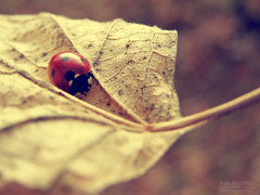 (Alin B.) Tags: alinbrotea nature insect ladybug ladybird bubu buburuza leaf autumn rusty