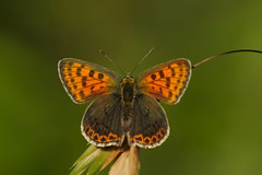 Lycaena tityrus (5) (JoseDelgar) Tags: josedelgar insecto mariposa lycaenatityrus coth ngc goldwildlife contactgroups coth5 npc platinumheartaward sunrays5 thegalaxy