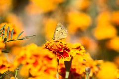 too much yellow (monorail_kz) Tags: jupiter37a vintagelens bokeh flowers autumn september butterfly yellow orange depthoffield dof