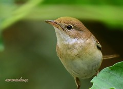 Whitethroat, sylvia communis (ammadoux) Tags: sylvia communis sylviacommunis ammadoux jeddah jeddahbirds