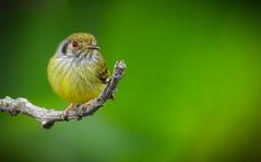 Myiornis auricularis (Aisse Gaertner) Tags: myiornisauricularis birdwatching bird brazil birdwatcher blinkagain birds brasil nikon p900 ngc coolpix