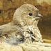 So CUTE!  A female house finch