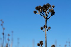 Espinudo (Patricio_Alvarado) Tags: arbusto espinudo celeste rudo seco rocoto chile desembocadura