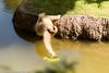 _MGL9637.jpg (shutterbugdancer) Tags: reaching fortworthzoo primate whitecheekedgibbon