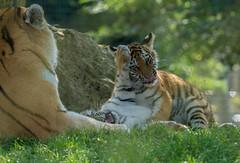 Help me Mum. (Chris Sweet 85) Tags: tiger tigercubs marwell cat bigcat flickrbigcats nikon nikond7100 nature