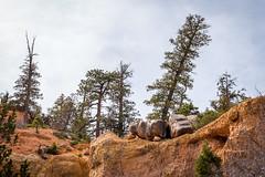 Embattled Pine Trees (Serendigity) Tags: brycecanyonnationalpark trees outdoors usa unitedstates landscape utah nature