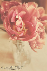 Full in Bloom (carissaelizabethyalephotography) Tags: fragrant tulips tulip pink green ballmasonjar masonjar jar window sun spring soft purple yellow full bloom bloosom fullbloom flower nature garden gardenlover serene plant indoor table kitchen petal