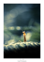 Hypnose (Naska Photographie) Tags: naska p photographie photo photographe paysage proxy proxyphoto macro macrophotographie macrophoto mante mantidae religueuse insectes extrieur orthoptre nature sauvage bokeh color couleur eos 6d canon sigma 150mm